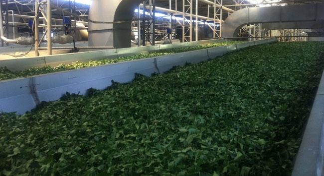 Çaya teknolojik yatırım